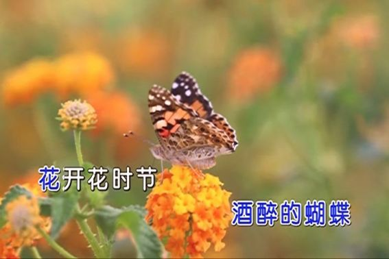 酒醉的蝴蝶